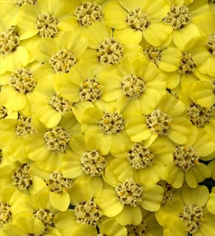 Achillea Desert Eve ™ Yellow