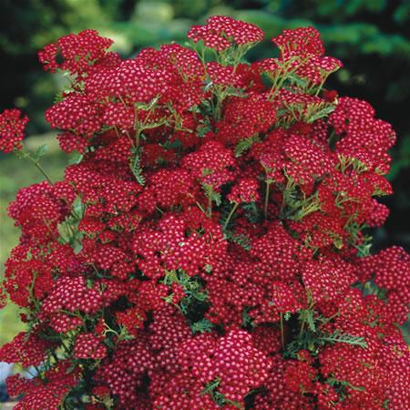 Achillea Desert Eve™ Red