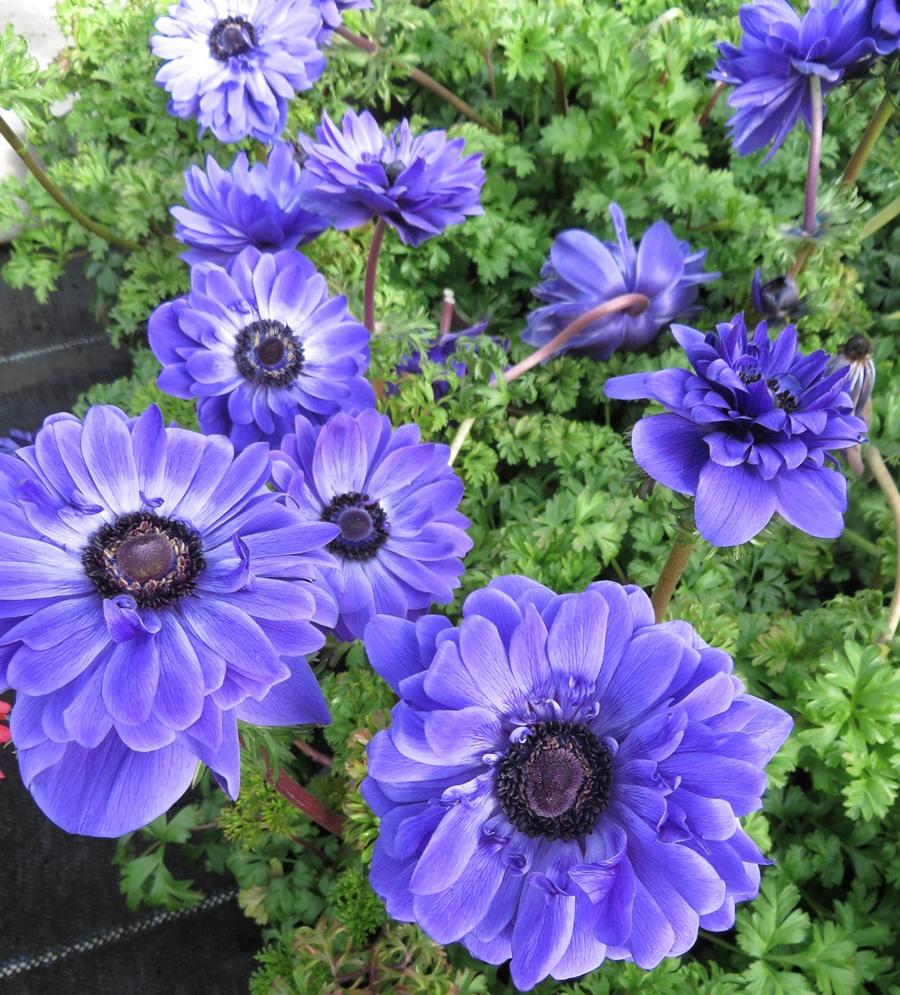 Anemone Harmony Double Blue