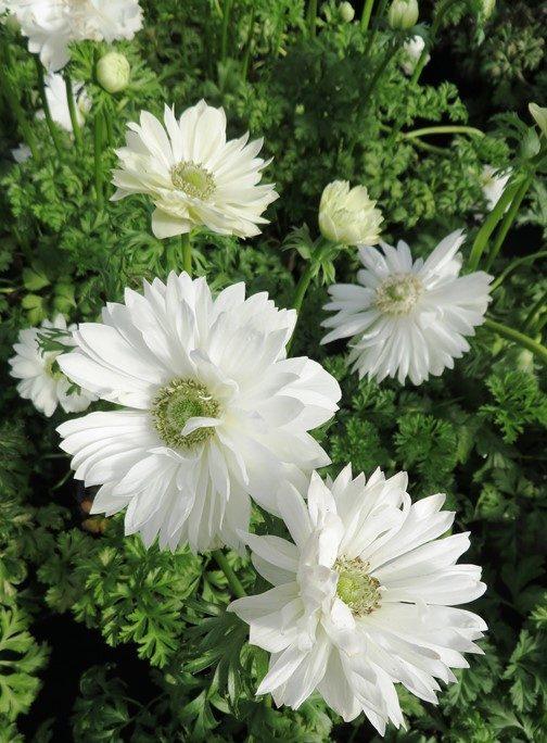 Anemone Harmony Double White