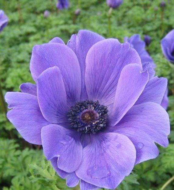 Anemone Harmony Blue