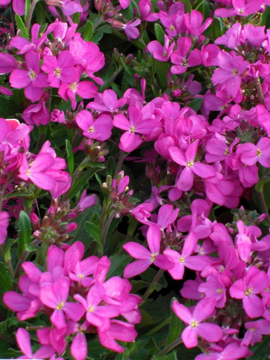 Arabis Rose Delight