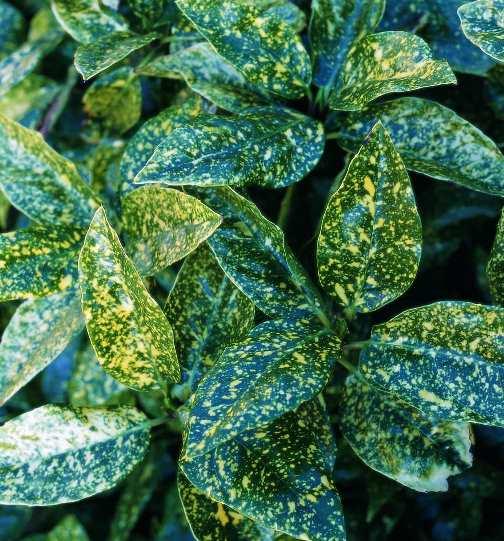 Aucuba crotonifolia