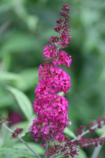Buddleja Miss Ruby