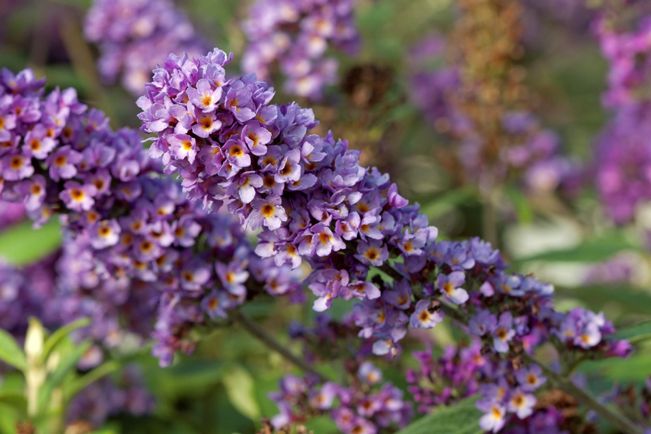 Buddleja Blue Chip Jr