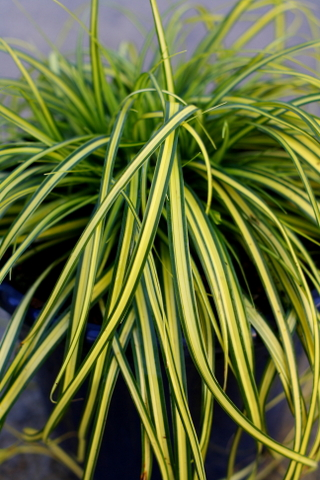 Carex EverColor® Eversheen