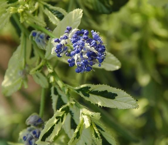 Ceanothus Lemon and Lime