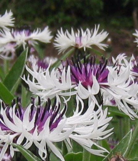 Centaurea Amethyst on Ice