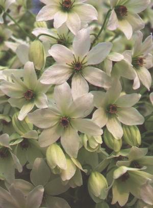 Clematis White Abundance