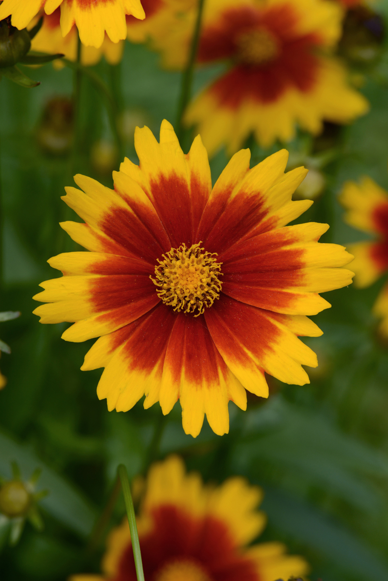 Coreopsis UpTick™ Gold and Bronze
