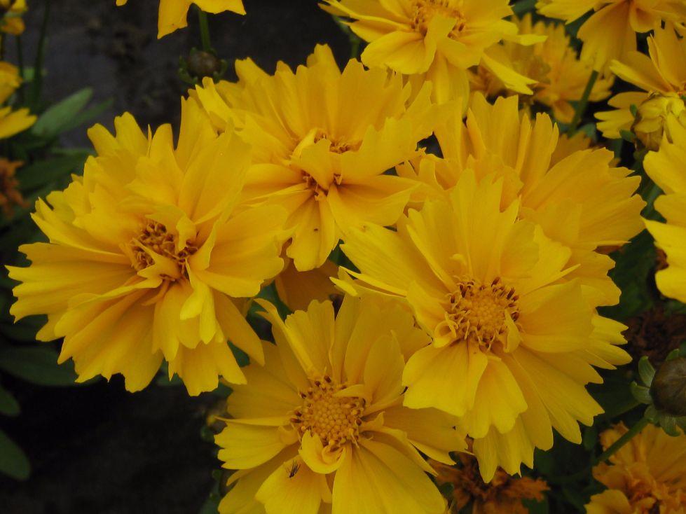 Coreopsis Presto Yellow