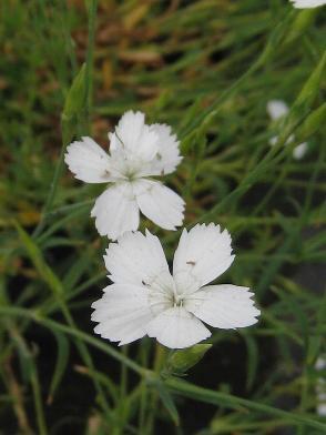 Dianthus Albus