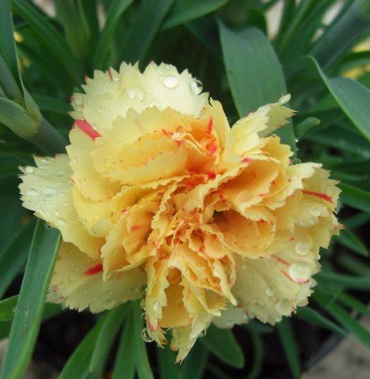 Dianthus Sunflor® Bling Bling