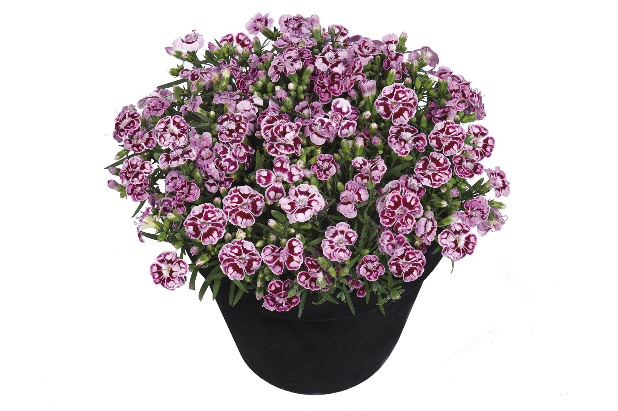 Dianthus Sunflor® Charmy