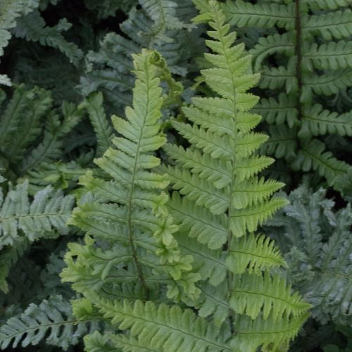 Dryopteris Crista the King