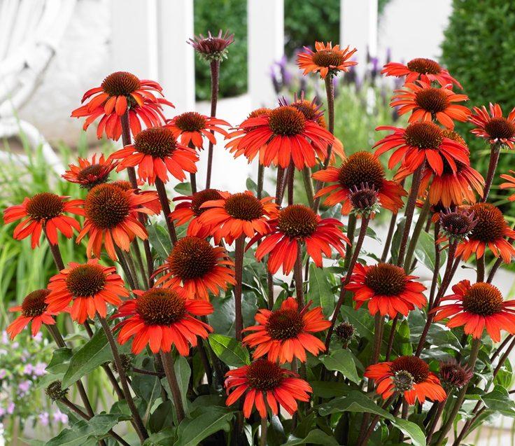 Echinacea Sunseekers Orange