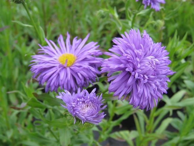 Erigeron Blue Beauty