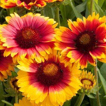 Gaillardia Mesa™ Bright Bicolor