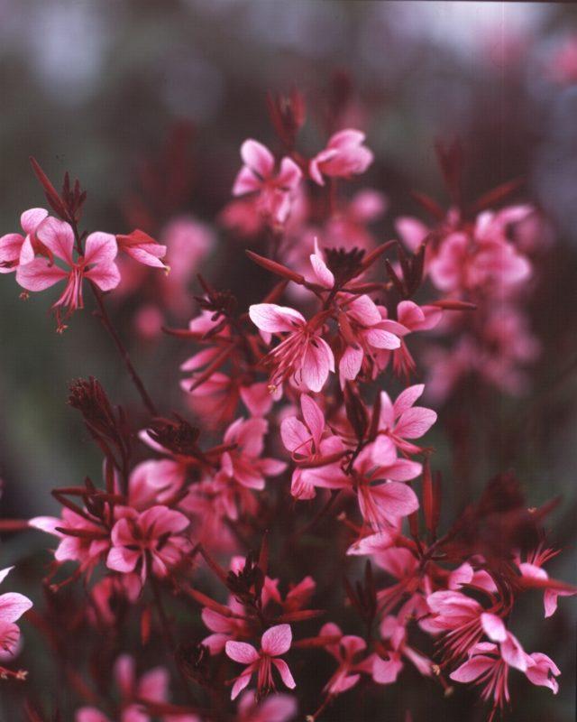 Gaura Passionate Pink