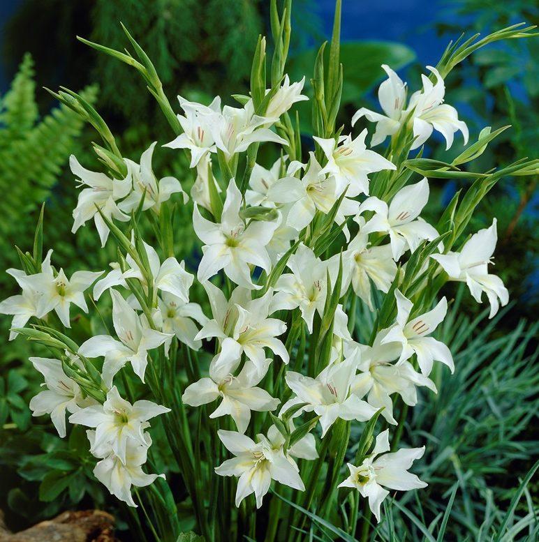 Gladiolus Albus