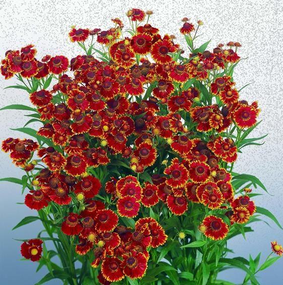 Helenium Red Shades