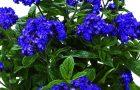 Helitropium Nautilus Blue