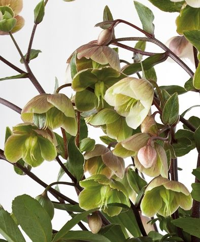 Helleborus Winter Bells