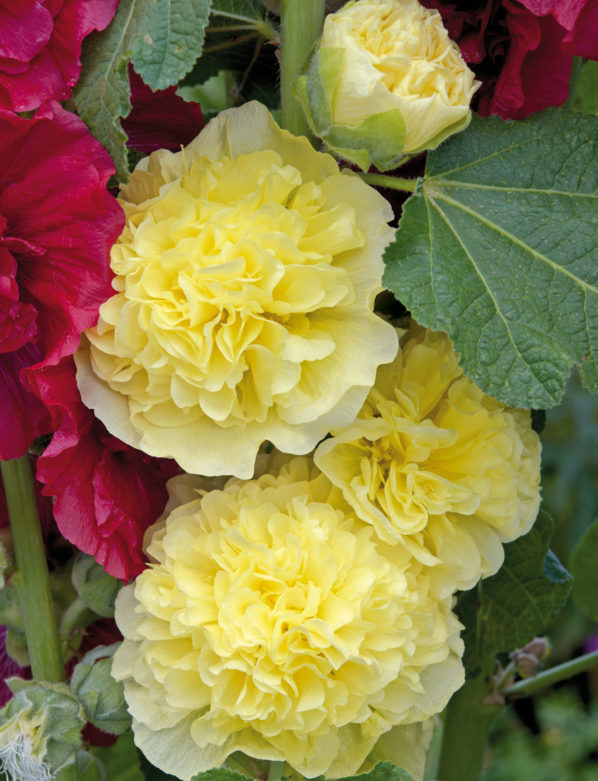 Alcea Chaters Golden Yellow