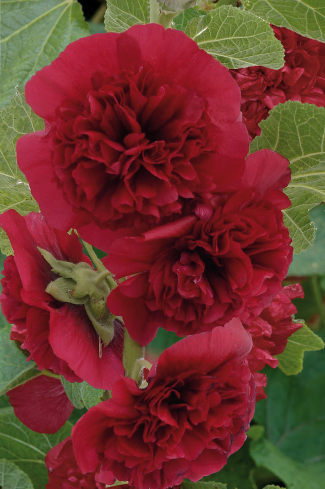 Alcea Chaters Maroon