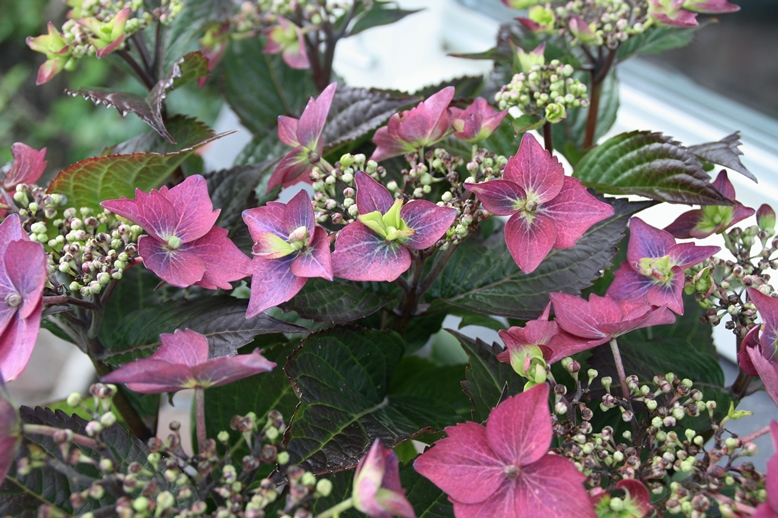 Hydrangea Blackberry Pie