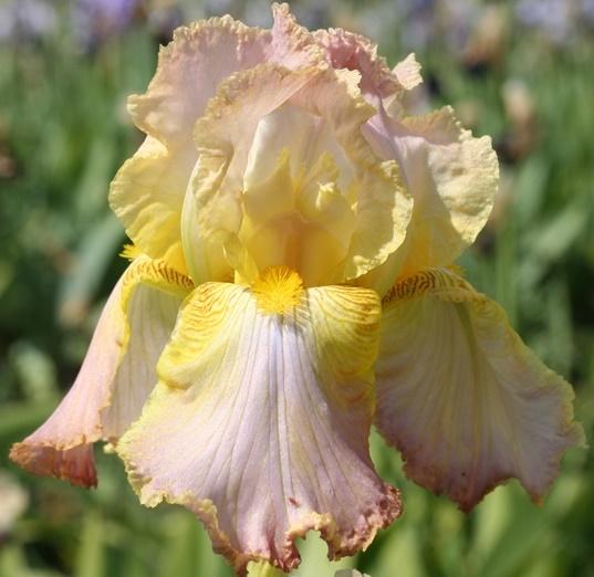 Iris Chantilly