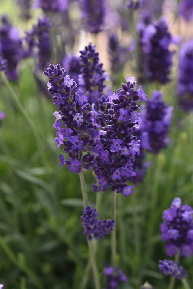 Lavandula Blue Spear