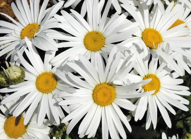 Leucanthemum White Knight