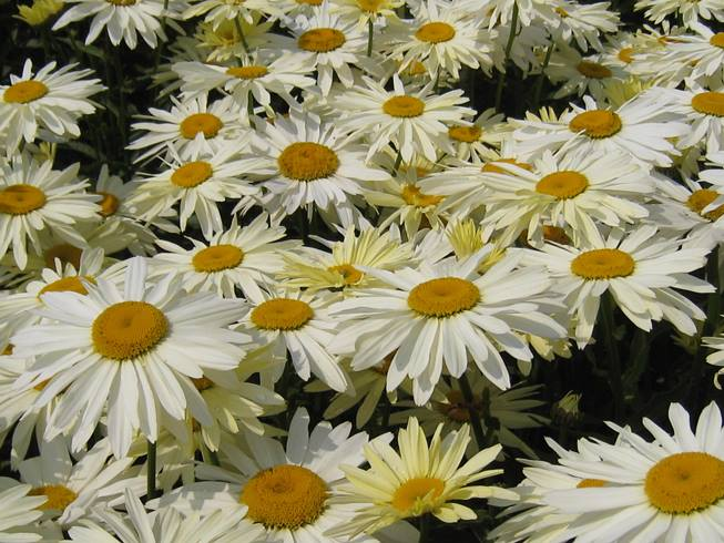 Leucanthemum Broadway Lights™