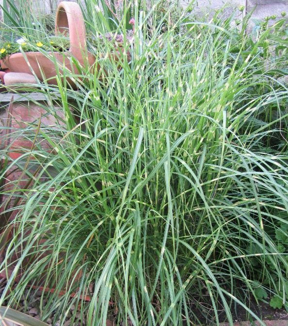 Miscanthus Little Zebra