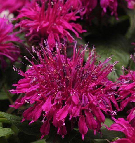 Monarda Balmy Purple