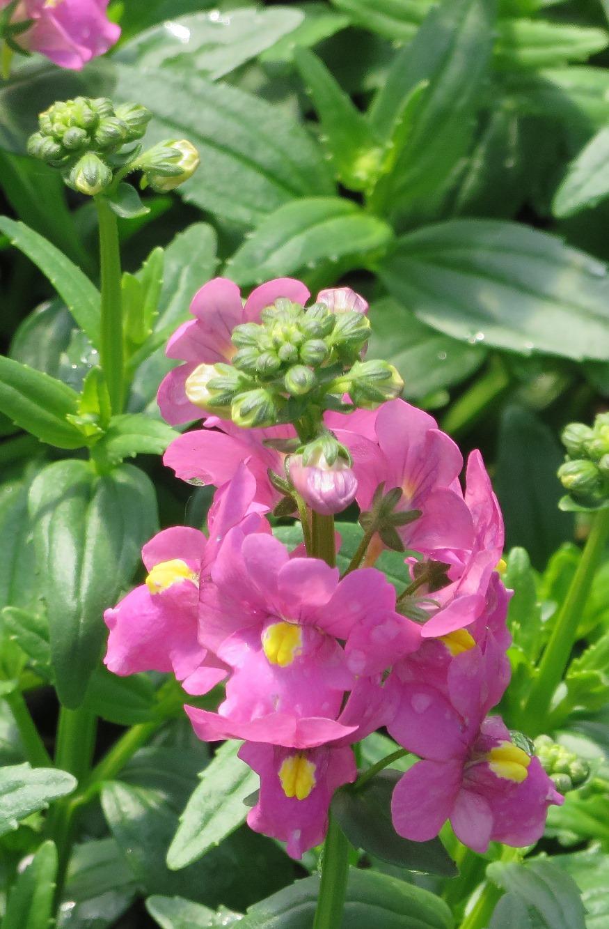 Nemesia aromatica™ Rose Pink