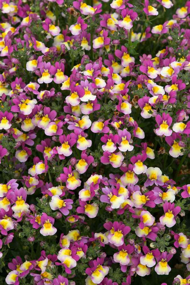 Nemesia Forest Fruits