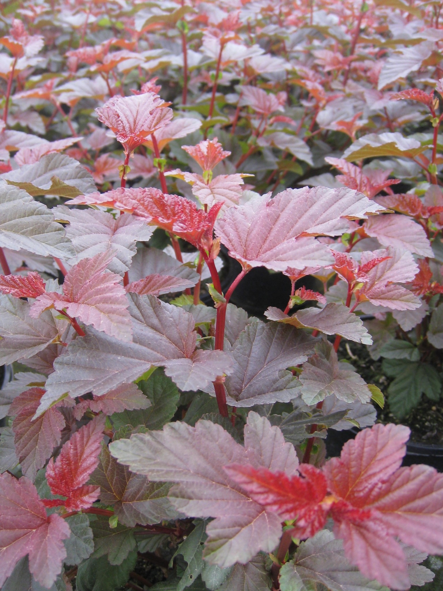 Physocarpus Lady In Red