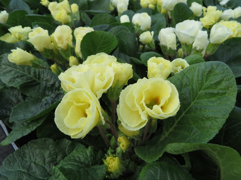 Primula Clotted Cream
