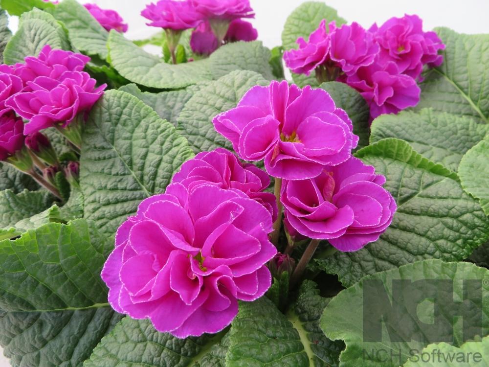 Primula Rubens Purple