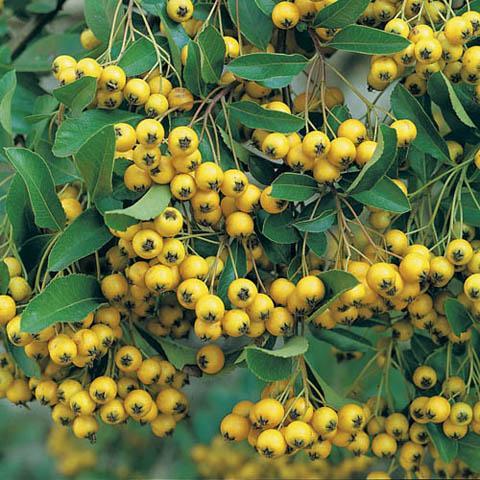 Pyracantha Saphyr Yellow