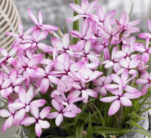 Rhodoxis Pink Blush