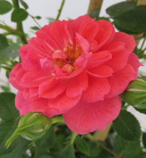 Rose Onwards and Upwards (Climbing)