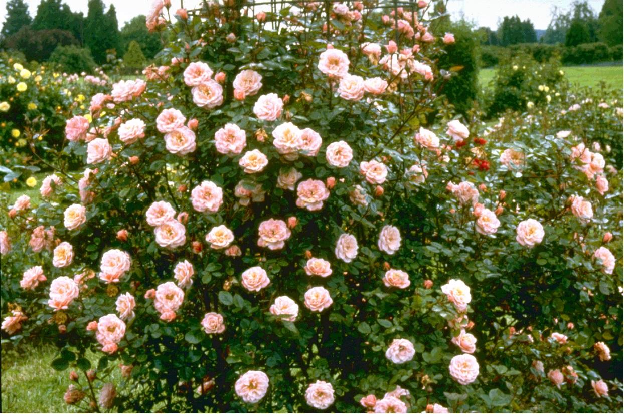 Rose Nice Day (Climbing)