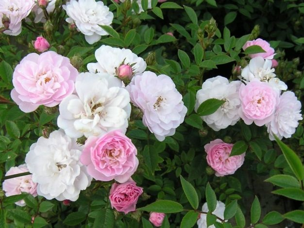 Rose Little Rambler (Rambling)