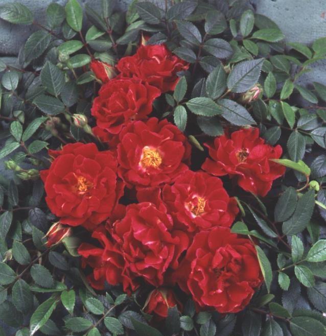 Rose Ruby Rambler (Rambling)