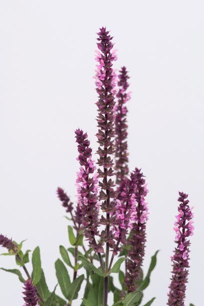 Salvia Caradonna Pink