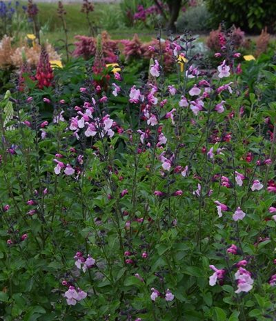Salvia Suncrest Dancing Dolls