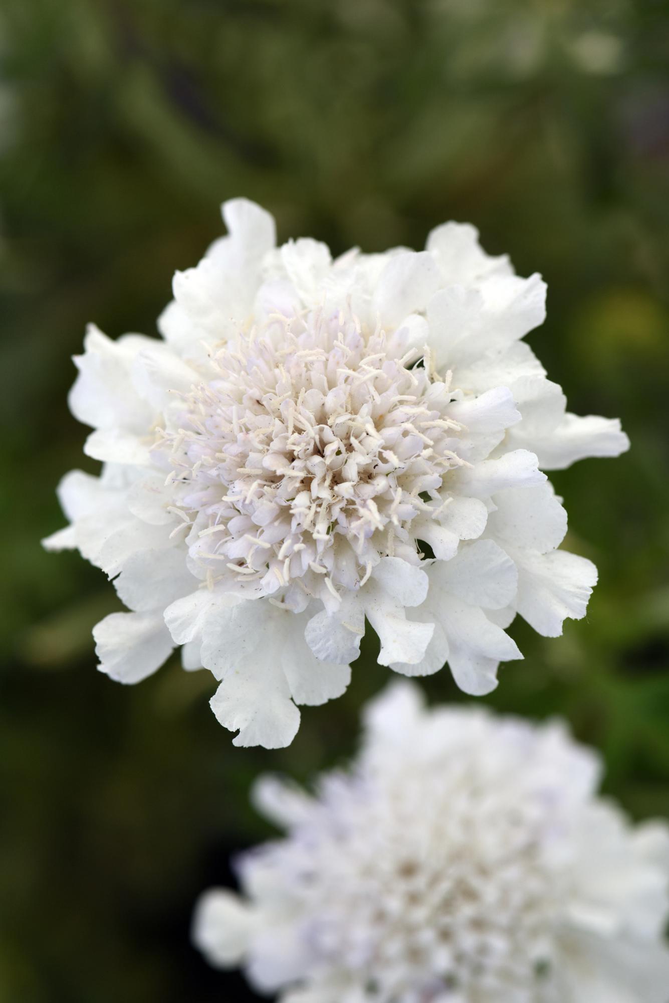 Scabiosa Flutter™ White